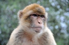 Wild living barbary macaque in Gibraltar royalty free stock images