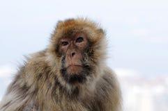 Wild living barbary macaque in Gibraltar stock photos