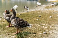 Wild living ducks. In front of a sea on crete Stock Photo