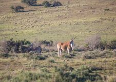 Wild living Eland at Addo Elephant Park in South Africa. In summer Royalty Free Stock Photos