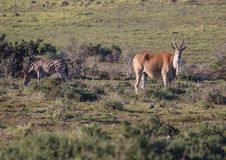 Wild living Eland at Addo Elephant Park in South Africa. In summer Stock Photo