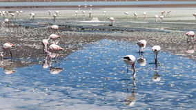 Wild living flamingos. A population of wild living flamingos in one of the lagunas in the bolivian andes - the lagunas are famous for this wild living birds Royalty Free Stock Images