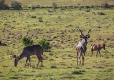 Wild living Greater kudu at Addo Elephant Park in South Africa. In summer Stock Image