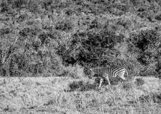 Wild living Plains Zebras at Addo Elephant Park in South Africa. In summer Stock Image