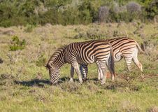 Wild living Plains Zebras at Addo Elephant Park in South Africa. In summer Royalty Free Stock Photos