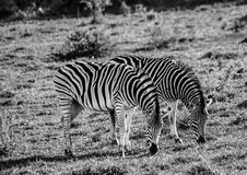 Wild living Plains Zebras at Addo Elephant Park in South Africa. In summer Royalty Free Stock Images