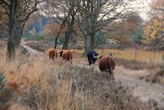 Wild living scottish highlanders in forest stock images