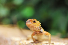Wild lizard Stock Images