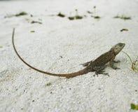 Wild lizard Stock Image