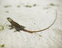 Wild lizard Royalty Free Stock Photos