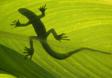 Wild lizard on backlight leaf Royalty Free Stock Image