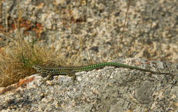 Wild lizard. Royalty Free Stock Image