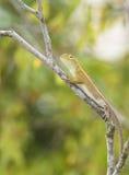 Wild lizard Royalty Free Stock Photos