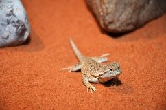 Wild lizard in the desert Royalty Free Stock Images
