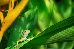 Wild lizard. Lizard on the leave of the flower. Thailand Stock Photo