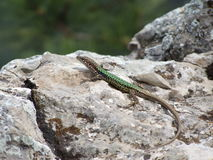 Wild lizard on a limestone Royalty Free Stock Images