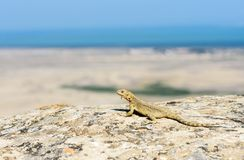 Wild lizard at nature habitat looking at seascape. Wildlife of Azerbaijan. Caucasian agama lizard Laudakia caucasia in Qobustan, Azerbaijan Stock Images