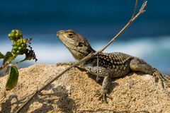 Wild lizard on the rock Stock Photo