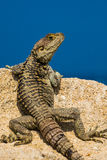Wild lizard Royalty Free Stock Photography