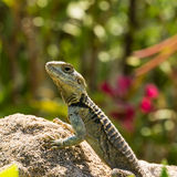 Wild lizard Stock Photos
