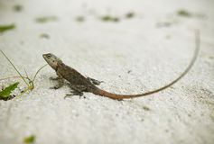 Wild lizard Royalty Free Stock Photo