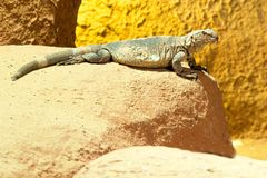 Wild lizard on the sand. Photo shows a closeup of a wild lizard on the sand Royalty Free Stock Photo