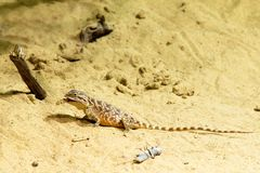 Wild lizard on the sand. Photo shows a closeup of a wild lizard on the sand Royalty Free Stock Images