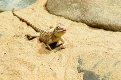 Wild lizard on the sand. Photo shows a closeup of a wild lizard on the sand Stock Image