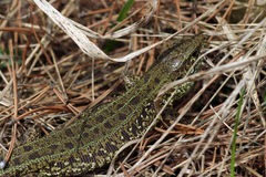 Wild lizard. Small wild lizard walking on the grass Stock Photography
