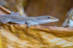 Lizard on Corn Husk stock photography