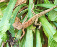 Wild lizard. In Thailand close-up Stock Photography