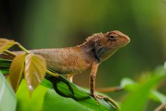 Wild lizard Royalty Free Stock Image
