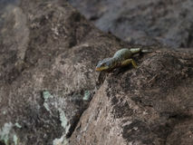 Wild lizard Royalty Free Stock Images