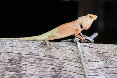 The Wild lizard. On wood fence Royalty Free Stock Photography