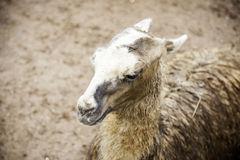 Wild llama Stock Photography