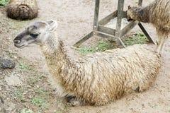Wild llama Royalty Free Stock Photos