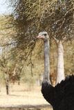 Wild long-neck ostrich Stock Photos