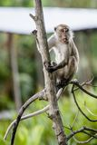 Wild long-tailed monkey. The long-tailed monkey is the largest group in the family of monkeys. There are cheek pouches that can store foods. They have low tine Royalty Free Stock Photos