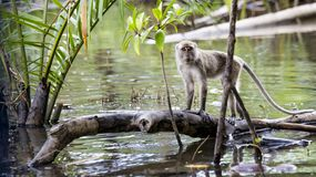 Wild long-tailed monkey. The long-tailed monkey is the largest group in the family of monkeys. There are cheek pouches that can store foods. They have low tine Royalty Free Stock Photo