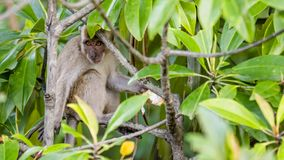 Wild long-tailed monkey. The long-tailed monkey is the largest group in the family of monkeys. There are cheek pouches that can store foods. They have low tine Royalty Free Stock Images