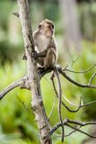 Wild long-tailed monkey. The long-tailed monkey is the largest group in the family of monkeys. There are cheek pouches that can store foods. They have low tine Stock Image