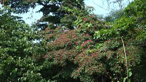 Wild longan fruits on the tree at Hallim Park in Jeju, Korea.  stock video
