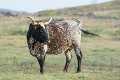 Wild longhorn cattle in Oklahoma Stock Images