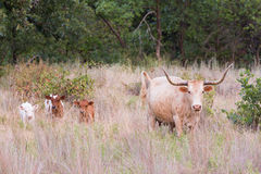 Wild longhorn cow with triplets Stock Photos