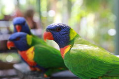 Wild Lorikeets Stock Images