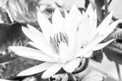 Wild lotus in bloom. Indonesia, Papua New Guinea. Black and white image stock photography