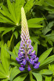 Wild Lupin flowers and buds on stem just before full blossom, close-up, selective focus, shallow DOF Stock Images