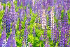 The wild lupine. Beautiful purple and pink flowers in the fresh green of summer Stock Photos