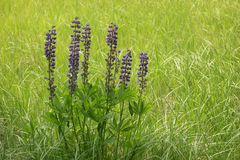 Wild lupine blooming in the meadow Royalty Free Stock Image