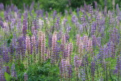 Wild lupine fields Stock Images